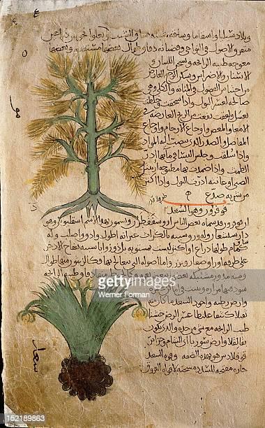 Folio 5r of the Arabic version of Dioscorides De Materia Medica Meum athamanticum and Cyperus rotundus Islamic 987 990 Samarkand