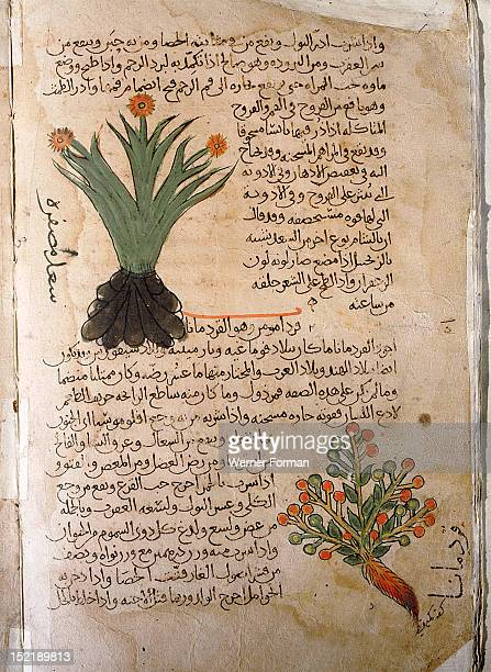 Folio 5v of the Arabic version of Dioscorides De Materia Medica Cyperus rotundus and Elettaria cardamomum Islamic 987 990 Samarkand