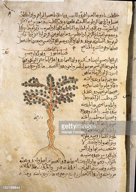 Folio 9r of the Arabic version of Dioscorides De Materia MedicaCinnamomum cassia Islamic 987 990 Samarkand