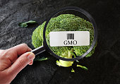 Hand with magnifying glass examining broccoli with GMO label