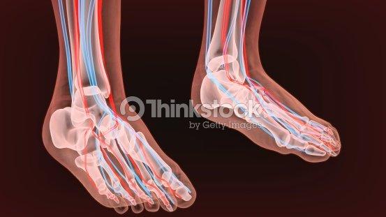 Fußarterien Und Lymphsystem Menschliche Anatomie 3d Illustration ...