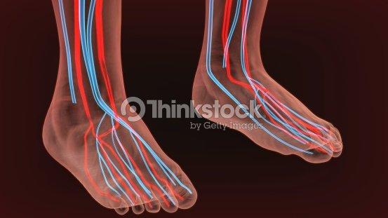 Pie Las Arterias Y El Sistema Linfático Anatomía Humana Ilustración ...