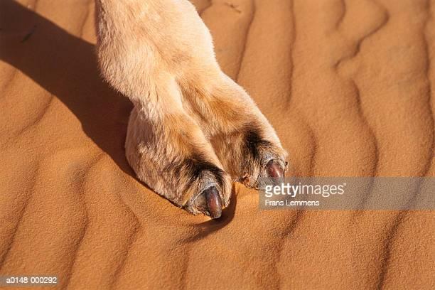Foot of Camel