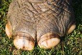 Foot of Indian rhinoceros