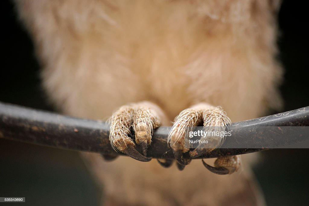 A foot of young owl sits in the cable line wire at Kirtipur, Kathmandu, Nepal on May 29, 2016. Nepal is home to a total of 21 species of owl and four species among them are categorised as endangered. However, none of the species of owl found in Nepal are prioritised in the IUCN Red List 2015. Some species of owl are traded for as much as Rs 300,000 and beyond.