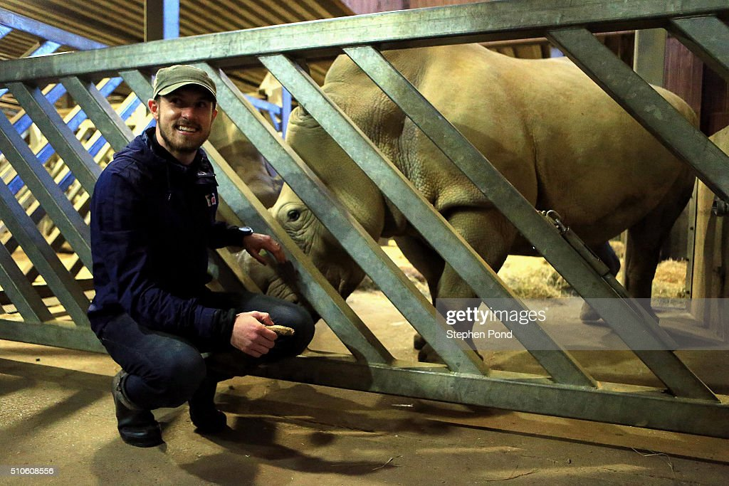 Footballer Aaron Ramsey visits Colchester Zoo on February 10, 2016 in Colchester,United Kingdom. Arsenal star, Aaron Ramsey, revealed his animal instincts are just as strong off the pitch as on. The Premier League player took time to honour brave British pilot Roger Gower, murdered last month in Tanzania when elephant poachers shot his helicopter out of the sky. Aaron, who raises thousands for The World Wildlife Fund and is incredibly passionate about animal conservation. The pilot's courageous efforts had deeply moved him to visit Colchester Zoo to highlight the plight of endangered species, such as elephants, rhinos and lemurs. See more pictures and video at www.facebook.com/FootballersLives For an extended caption contact Sally Land from Kicca Media on sally.land@kicca.com or 07884478302.