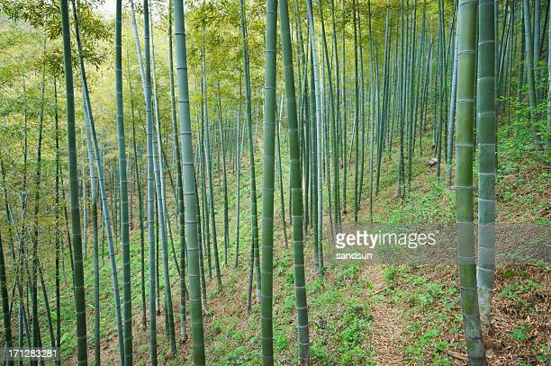 footpath in bamboo forest