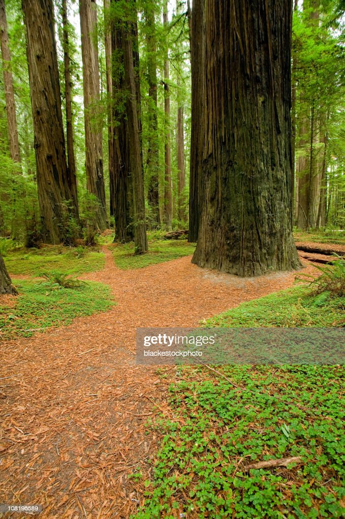 Footpath Meandering Through Redwood Tree Forest : Stock Photo