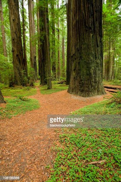 Footpath Meandering Through Redwood Tree Forest