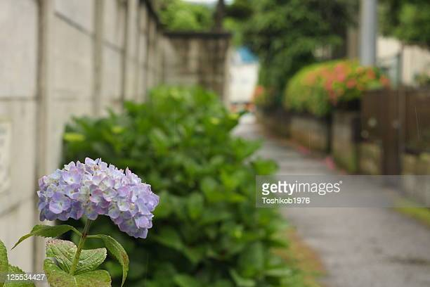 Footpath of hydrangea