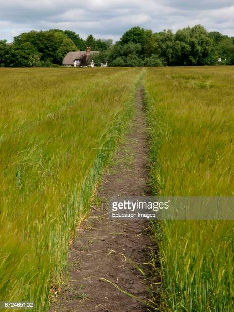 Footpath through field of barley to thatched cottage All Canning Devizes Wiltshire UK