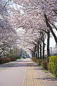 Footpath with rows of cherry trees, Tama city, Tokyo prefecture, Japan