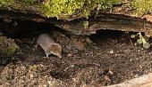 A foraging Common Shrew(Sorex araneus)