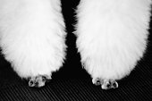 Forelegs of a poodle