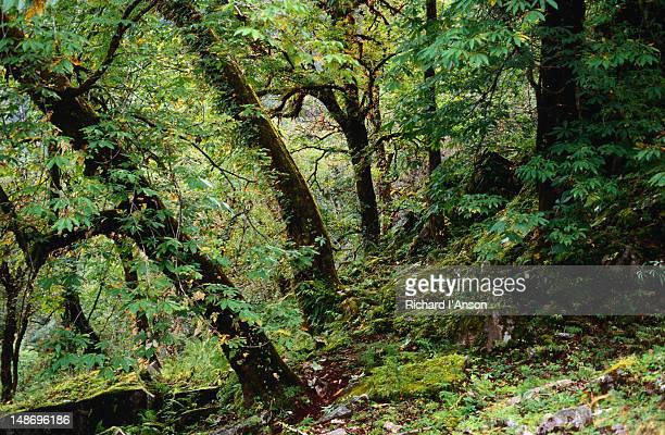 Forest above Ghangri - Uttarakhand, Uttar Pradesh