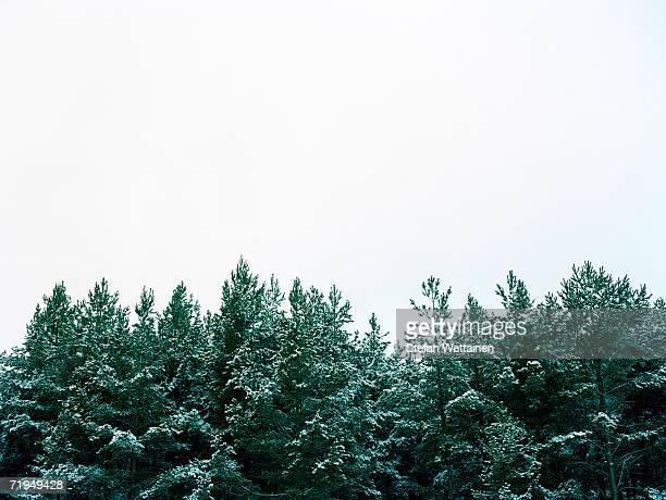 Forest against a white sky.