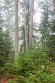 Forest scene at foggy day in Finland
