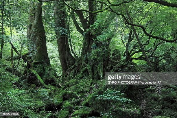 Forest at Yakushima, Kagoshima Prefecture, Kyushu, Japan