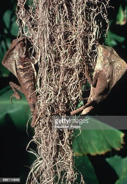 Forest Chameleons in Spanish Moss Corylophones cristatus Tillandsia usneoides