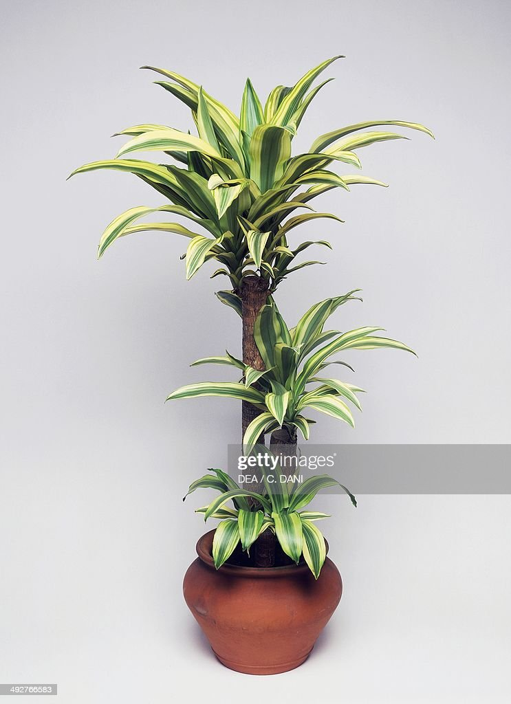Forest dracaena (Dracaena deremensis or Dracaena fragrans lindeni), Asparagaceae.