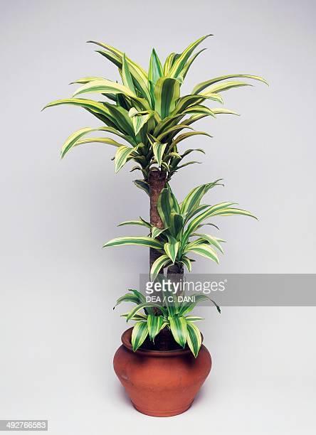 Forest dracaena Asparagaceae