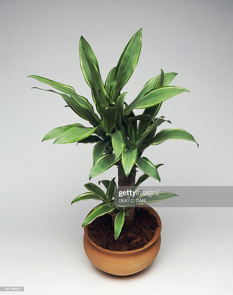 Forest dracaena (Dracaena deremensis Santarosa or Dracaena fragrans Santarosa), Asparagaceae.