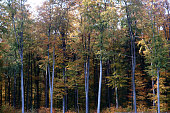 The forest edge of a deciduous forest in autumn with tree trunks standing close to each other.'n