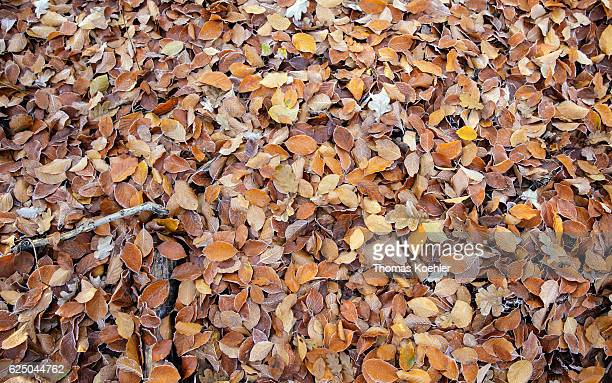 A forest floor is covered with foliage Autumn mood in the nature reserve Biesenthaler Becken on November 13 2016 in Biesenthal Germany