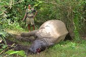 A forest guard stands near the carcass of a onehorned rhinoceros which was killed and dehorned by poachers in the Burapahar range of Kaziranga on...