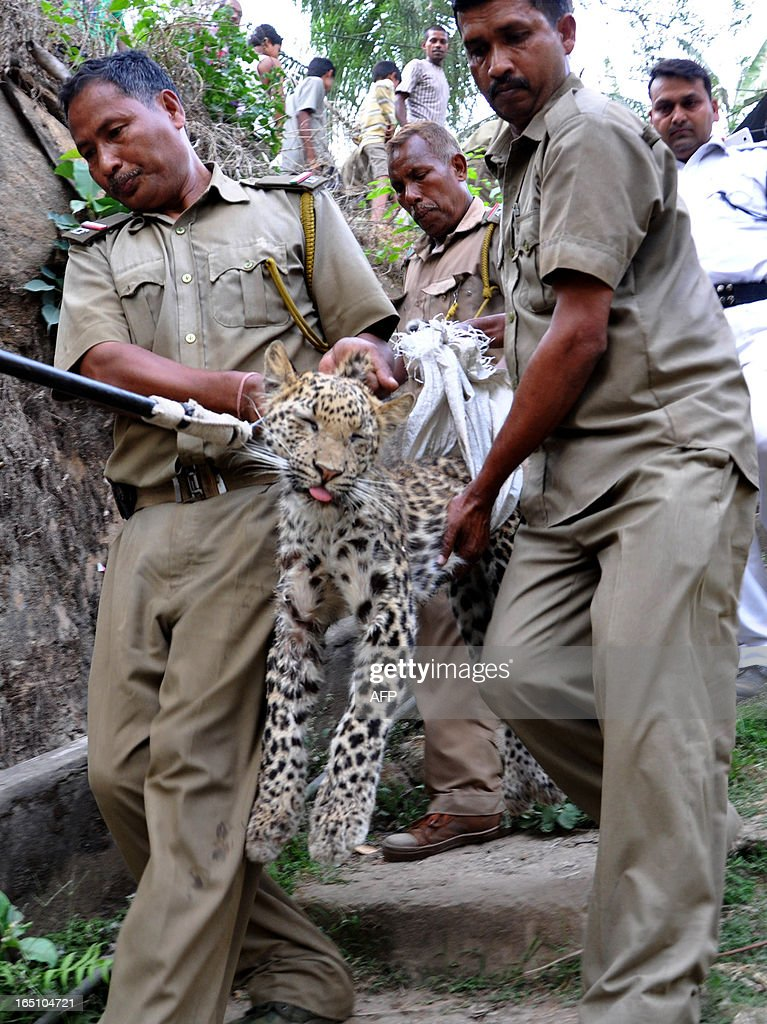 Forest guards carry a fully grown leopard after tranquillising the animal in a residential area near Kalipur in Guwahati on March 30, 2013. The fully grown leopard was wandering through a part of the densely populated city when curious crowds startled the animal, a wildlife official said. AFP PHOTO/Biju Boro