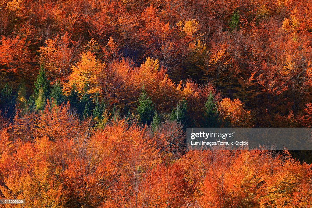 Forest in autumn colors, aerial view, Velebit, Croatia