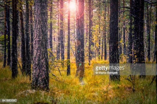 Forest in autumn, Sweden.