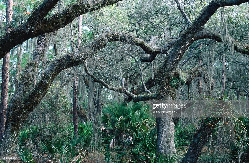 Forest in Everglades headwaters, Lake Kissimmee State Park.