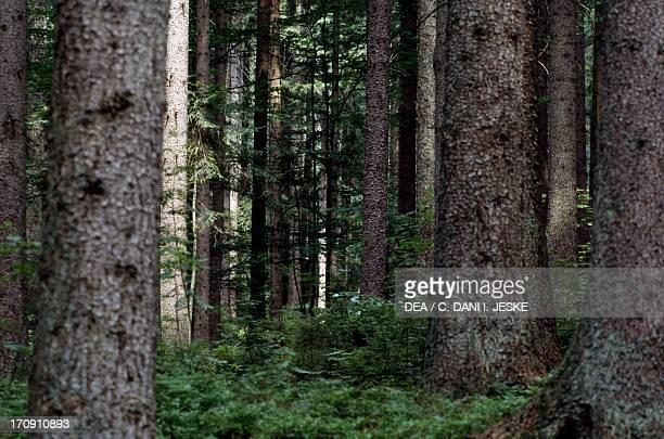 Forest in the Bavarian Forest National Park Bavaria Germany