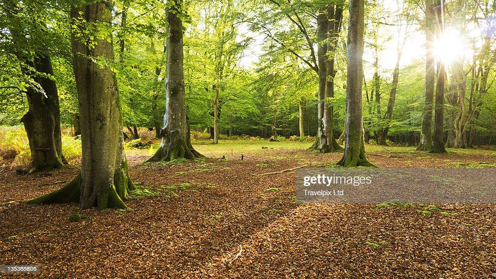 Forest Interior, Dorset, England : Stock Photo