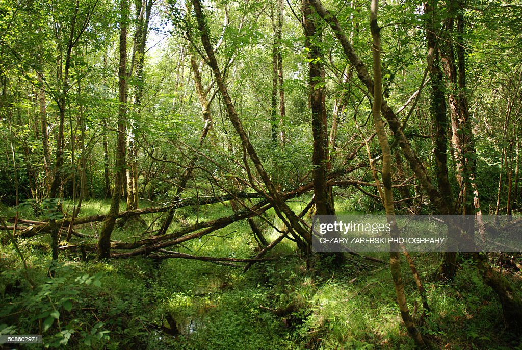 Forest, Killarney National Park, County Kerry, Ire : Foto de stock