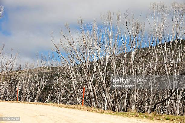 Forest killed by bush fires in the Snowy Mountains, Australia.