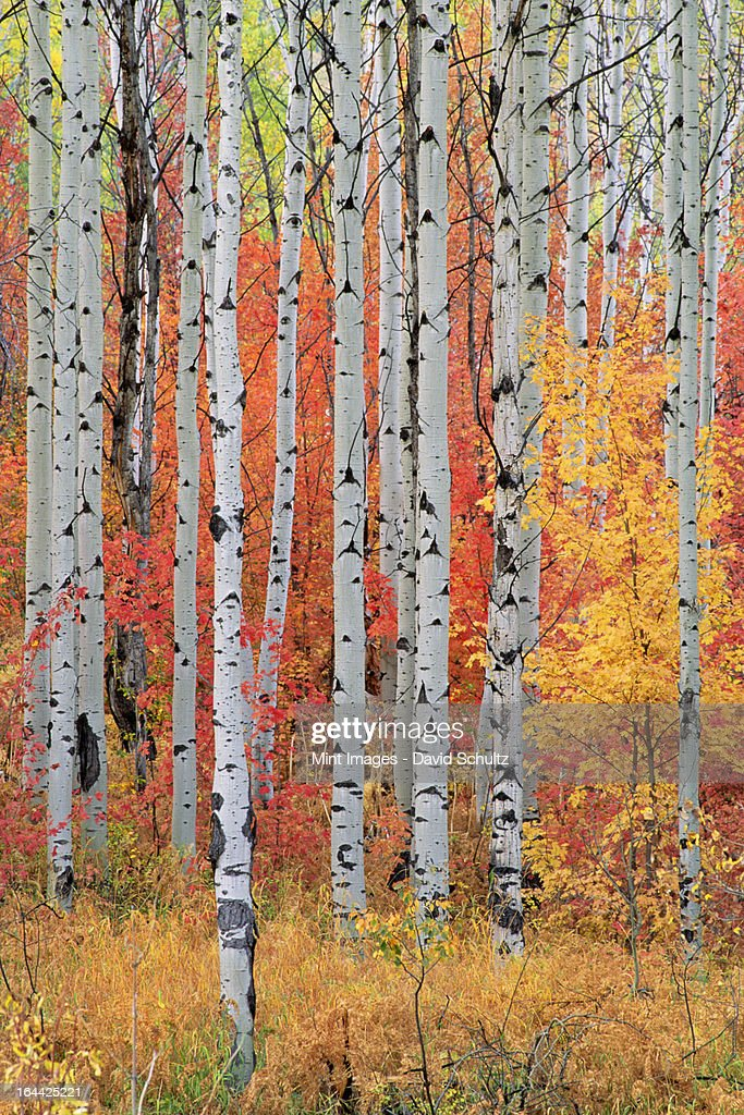 A forest of aspen and maple trees in the Wasatch mountains, with striking yellow and red autumn foliage. : Stock Photo