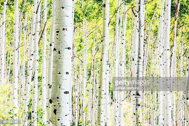 A forest of aspen trees in the fall