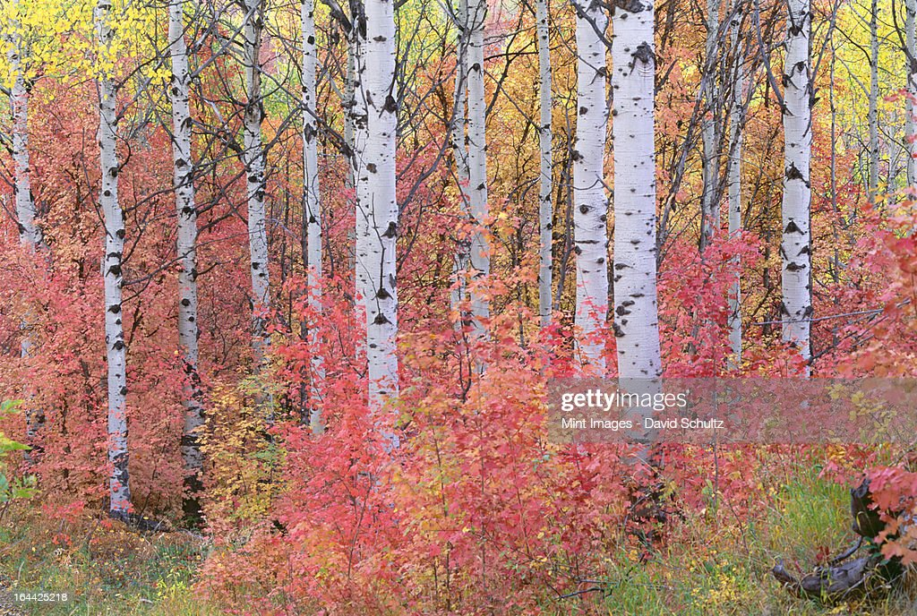 A forest of aspen trees in the Wasatch mountains, with striking yellow and red autumn foliage. : Stock Photo