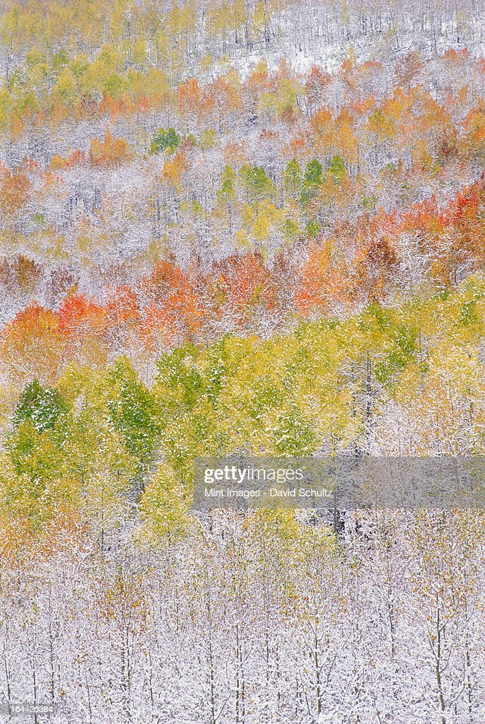 A forest of aspen trees in the Wasatch mountains, with striking yellow and red autumn foliage. Snow on the ground. : Stock Photo
