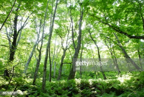 Forest of beech in Shirakami Sanchi : Stock Photo