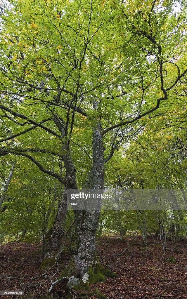 Forest of Beech Trees - Bosque de Hayas : Stock Photo