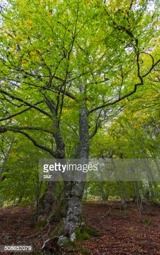 Forest of Beech Trees - Bosque de Hayas : Stock Photo