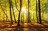 Natural Forest of Deciduous Trees in full Autumn foliage at sunset illuminated brightly by the Setting Sun