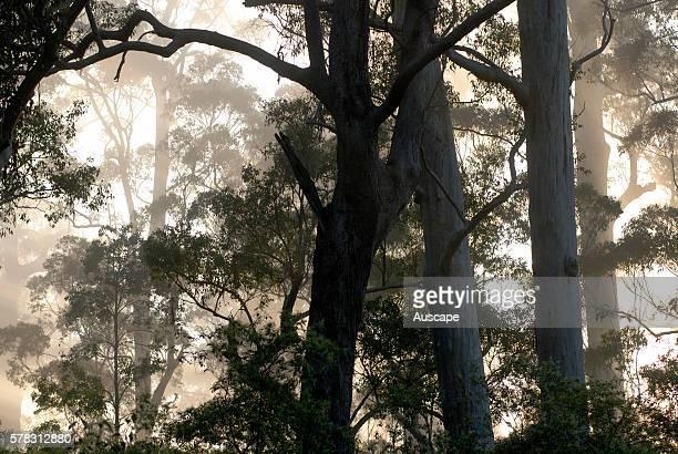 Forest of Karri silhouetted at sunrise Warren National Park near Denmark Western Australia Australia