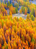 Colorful forest of orange colored larch trees in the italian Alps during autumn, Sestriere, Piedmont, Italy