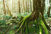 Forest of Japanese moss. Wildwood in far in the mountains. The tree into which I grow on the stone