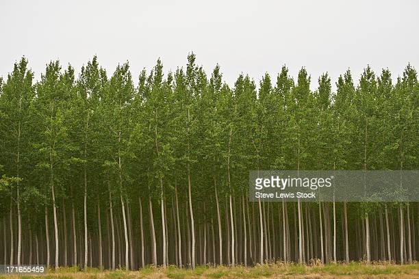 Forest of Poplar trees