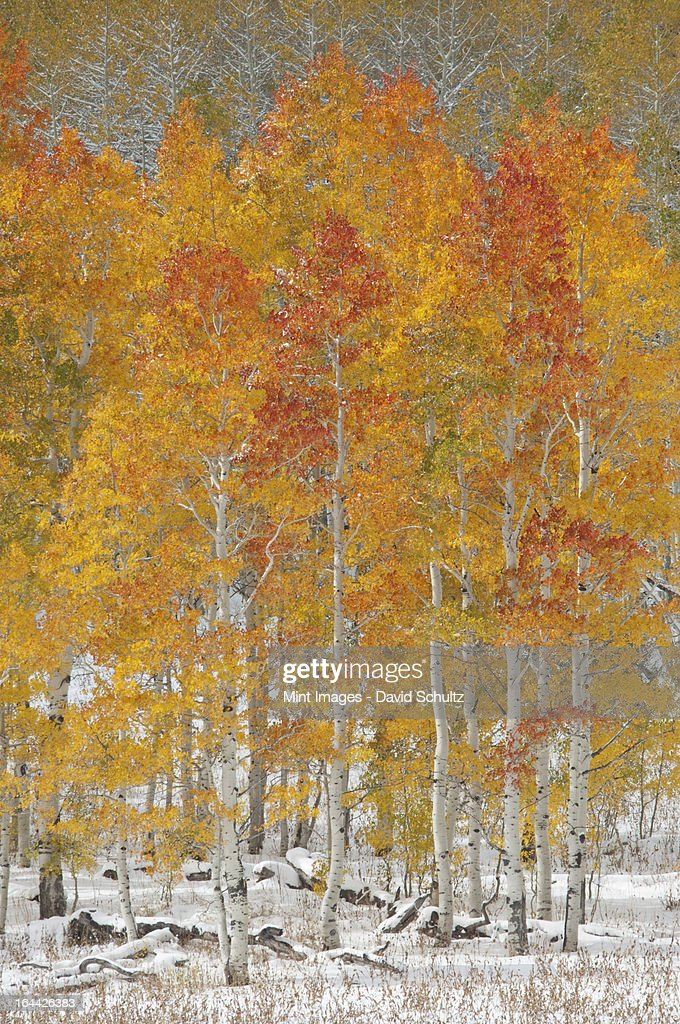 A forest of quaking aspen trees with autumn foliage colours in the snow, in Wasatch national forest. : Stock Photo